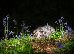 Hiding (Chris Willis 10) Tags: 2018 bluebells dingle puppy star animal nature mammal grass outdoors fur wildlife cute small animalsinthewild pets younganimal greencolor playing wolf summer closeup oneanimal dog simon sait