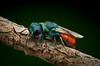Chrysis ignita (epioxi) Tags: epioxi chrysisignita chrysissp goldwespe cuckoowasp macrophotography componon reversed schneiderkreuznach