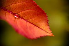 DSC_3803 (Stacey Conrad) Tags: d7500 macro nikon pa summerfield willowstreet water waterdrop rain leaf