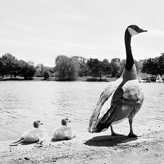 348 of Year 4 - Don't sit like that my dear. .. . (Hi, I'm Tim Large) Tags: portishead campgrounds lakegrounds lake boating summer canada goose geese baby feet legs out stretched fuji fujifilm x70 348 365 gosling two pair family cignets