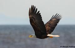 Bald Eagle (Haliaeetus leucocephalus) in flight - Delta, BC (bcbirdergirl) Tags: baldeagle boundarybay delta bc flying hunting flight inflight hotpursuit birdofprey raptor eagle haliaeetusleucocephalus bif birdinflight soaring gliding