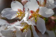 Cherry Blossoms (DJNstudios) Tags: flower flowers bloom blossom spring petal petals pollen cherry buttercup macro macrophotography lenses bokeh depth field dof