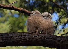 Fluff balls (Snixy_85) Tags: greathornedowlets greathorned owlets bubovirginianus owls