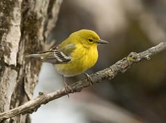 Pine Warbler (vischerferry) Tags: pinewarbler warbler bird dendroicapinus newyorkstate