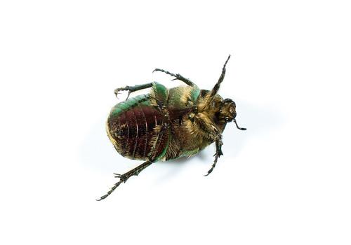 Gold shiny rose beetle