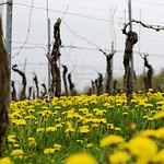 Vineyard in spring thumbnail