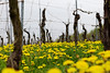 Vineyard in spring (www.holgersbilderwelt.de) Tags: vine dandelion vineyard nature beautiful light sky landscape color mountain germany spring garden plant grass field outdoor fine botany flora amazing weather scenic lovely season culture calm rural countryside traditional public perspective agriculture meadow saxony sachsen wine growth rustic grape meissen lausitz valley aperture