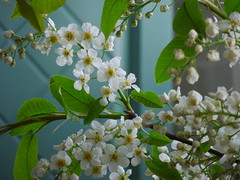bird cherry (cloversun19) Tags: blossom tree apple appletree appleflower flower macro wood trees branch branches green white spring may sun morning springimage garden bright flowers grass summer love story pink warm romantic beauty glory happy positive blooming blossoming bloom flowering june picture flowerimages image red summerimage butterfly birdcherry