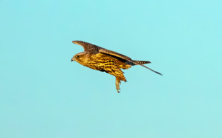 Gyrfalcon / Fálki (Falco rusticolus islandicus)