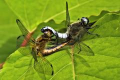 Tête à queue (David Bertholle) Tags: libellule fauve libellula fulva dragonfly nature macro closeup insect color yellow green d7200 nikon sigma