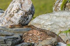 Female Adder view 2 (Matchman Devon) Tags: adder viper berus ayrmer cove ringmore south hams devon