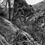 Wildflowers and Trees on the California Hillsides (Black & White) thumbnail