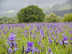 2018-05-20 09-37-06 (C) (turbok) Tags: blauviolett pflanze sibirischeschwertlilieirissibirica wasseranpflanzen wassertropfen wildblumen wildpflanzen c kurt krimberger