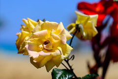 Colours from Home (George Plakides) Tags: yellow rose argaka home sky sea wheat field bokeh
