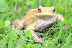 toad (Wolfgang Binder) Tags: toad animal reptile nature grass nikon d7000 zeiss planar planart21ss