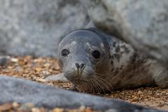 Grey seal (Halichoerus grypus) (Allan Dean Photography) Tags: greyseal canon closeup coastal beach eos nature norfolk wildlife wild