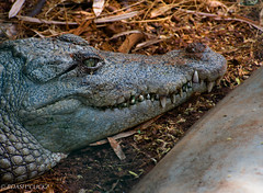 Dangerously_Handsome (BARUN DASH) Tags: crocodile eye dangerous carnivore reptile attacker green teeth attack pain fear killer silent moment concentrate vicious huge gator alligator