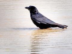 Corneja común (Corvus corone)  (56) (eb3alfmiguel) Tags: aves pájaros passeriformes corvidae corneja común corvus corone