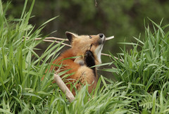 Red fox kit (Rainbowridge Photography) Tags: redfox fox vixen wild wildlife redfoxkit foxkit den mound cunning mischievous photophraphy woodpictures woodland wildlifephotography canon rebel t6 t6i t5 sl1 eos