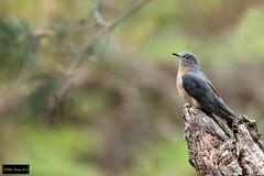 Fan-tailed Cuckoo (Cacomantis flabelliformis flabelliformis) (Dave 2x) Tags: cacomantisflabelliformisflabelliformis cacomantisflabelliformis cacomantis fantailedcuckoo fantailed cuckoo leastconcern