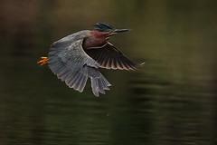 Green Heron in Flight (rlb1957) Tags: jerryjones skeletalmess raisedpaper3 flickr eastbayregionalparkdistrict quarrylakesrecreationarea fremont california greenheron butoridesvirescens flight bif texture