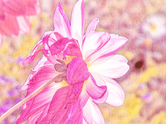 Pink Pastel Dahlias (Steve Taylor (Photography)) Tags: digitalart pink yellow white highkey newzealand nz southisland canterbury christchurch northnewbrighton glow texture flower dahlia