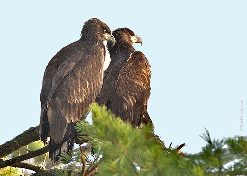 immature bald eagles Hagar, Hagrid