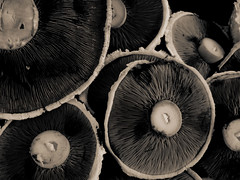 Mushrooms (Ch@rTy) Tags: brown detail macro sepia dark mushrooms big moody close 100v10f calm charlie gills intricate tyack charlietyackcom