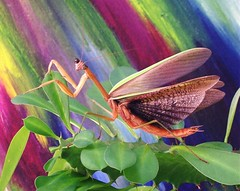 Senior Picture (Rascaille Rabbit) Tags: mantis bravo shots euphorbia seniorpicture prayingmantis outstanding mantid prayingmantid thecontinuum outstandingshots gtaggroup specanimal abigfave