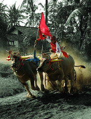 'Makepung' (myudistira) Tags: bali race work indonesia photographer traditional culture 2006 made freelance actionshot adat budaya balinese fotografer unik jembrana makepung yudis baliview angkorsingle baliphotographer bullracing yudistira makepungdriver decoratedanimal myudistira madeyudistira yudist