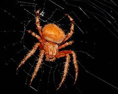 Garden Spider 1 (ScottS101) Tags: love nature spider web arachnid attack prey poison hunt allrightsreserved orbweaver venom i copyrightscottsansenbach2008