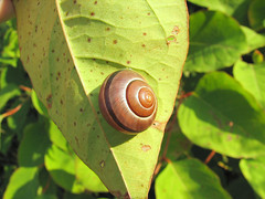 snail of the day - by urtica