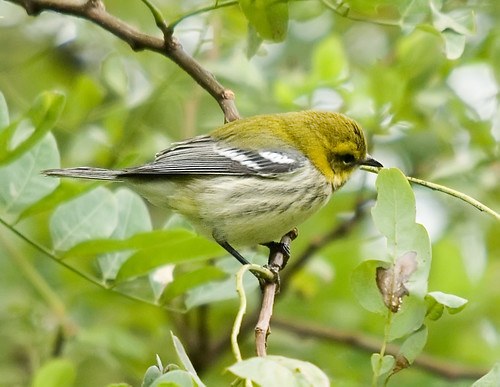 Longest Warbler Name in the World