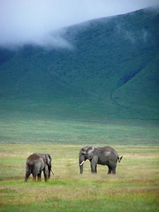 Elephants in Ngorongoro Crater (geoftheref) Tags: geoftheref travel africa safari tanzania serengeti elephants ngorongoro crater elephant wildlife animal nature wild green landscape beautiful great excellent abigfave impressedbeauty 100v10f unesco world heritage site sites topf25 flickr interesting interestingness afrika de lafrique afrikasafari    dellafrica     frica   la tanzanie  tanznia  landschap paysage landschaft paesaggio paisagem paisaje