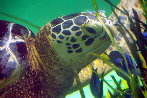 aquarium turtle greenturtle toba k100d sigma18200mmf3563