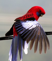 I am pretty.  Oh! so Pretty ..... (Denis Fox) Tags: blue red wild birds native free parrot australia naturesfinest crimsonrosella specanimal animalkingdomelite wildlifeofaustralia avianexcellence birdsshowcase