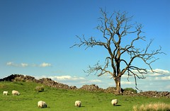 Old Tree, Old Wall (Scott Foy) Tags: tree stone wall canon scotland bravo sheep quality interestingness1 a620 renfrewshire howwood rakerfield scottfoy treesubject