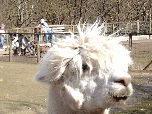 Alpaca in need of hair cut