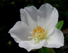 Not straying far (Pandiyan) Tags: white flower bright sunny pollen pandiyan chennai homegrown softlight anther portulaca