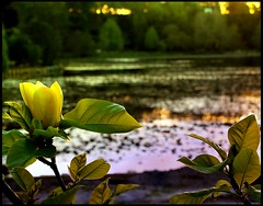 Honey Magnolia (Catching Magic) Tags: cambridge sunset newzealand nature olympus magnolia e300 tiraudan