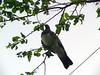 Kererū (sitharus) Tags: newzealand raw pigeon wellington e300 kereru