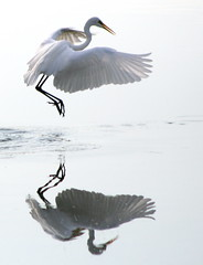 Mid-Afternoon Elegance (jcowboy) Tags: reflection bird heron nature birds animal animals japan fauna reflections ilovenature outdoors wings pond bravo asia searchthebest wildlife wing interestingness1 2006 ponds egret ornithology okazaki herons egrets wildanimals magicdonkey outstandingshots specnature specanimal animalkingdomelite