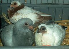 3 pigeons staring (johnadams1217) Tags: birds pigeon pigeons budapest fancy livia columba damascene featheryfriday
