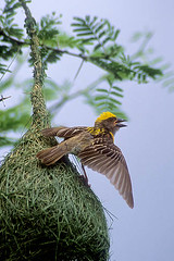 baya weaver at nest (wildlens) Tags: wild india colour bird nature birds asian nikon asia natural wildlife indian  colourful gujarat jadeja 70300g manjeet anawesomeshot yograj ourfavourites manjeetyograjjadeja