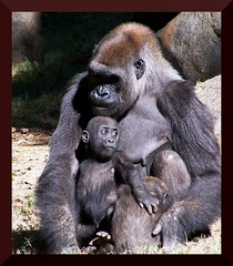 She is so devoted (tammyjq41) Tags: atlanta zoo bravo searchthebest quality 2006 explore gorillas tjs tjd instantfave outstandingshots specanimal animalkingdomelite abigfave exploreatlantazoo