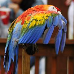 showing her colours (ucumari photography) Tags: bird sc animal zoo nikon october d70s southcarolina parrot columbia nikond70s riverbanks riverbankszoo columbiasc october2006 instantfave specanimal ucumari insantfav ucumariphotos ucumariphotography