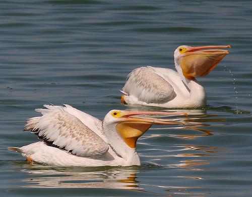 ...American White Pelican...