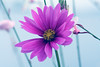What purple is all about (-ViDa-) Tags: flower nature beauty purple natural calm sensual lovely naturesbeauty top20purple