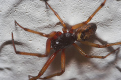 """Spider (Steatoda nobilis)(2) • <a style=""""font-size:0.8em;"""" href=""""http://www.flickr.com/photos/57024565@N00/282391629/"""" target=""""_blank"""">View on Flickr</a>"""