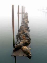 sea lions in the fog (jody9) Tags: topf25 fog oregon foggy columbiariver astoria sealions abigfave